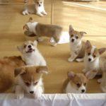 Một số trại chó Corgi Đà Lạt nổi tiếng