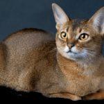Giống mèo nào thông minh nhất thế giới hiện nay?